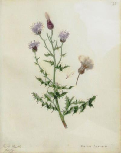 Emily Stackhouse Field Thistle Cnicus Arrensis