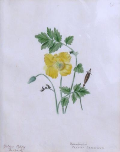 Emily Stackhouse Yellow Poppy Papaver Cambricum