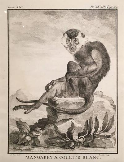 Exquisite Set of 24 Monkey Engravings in Frames circa 1800