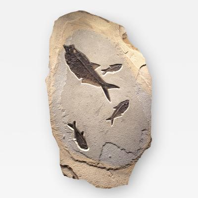 Fossil Mural containing Four Diplomystus