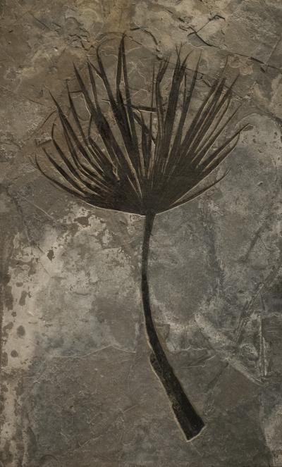 Fossil Palm Frond