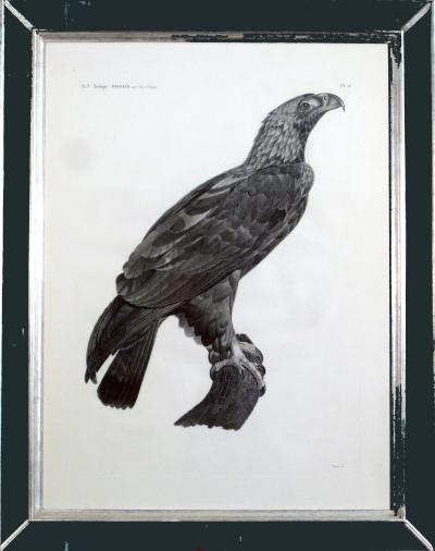 French Engraving by Savigny of the Eastern Imperial Eagle from the de lEgypte