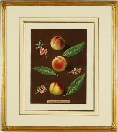 George Brookshaw Engravings of Peaches Plate XXXVI Pomona Britannica
