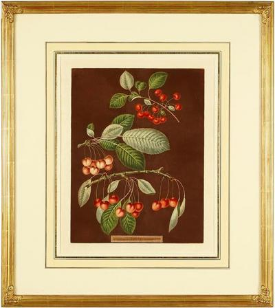 George Brookshaw George Brookshaw Engravings of Cherries from Pomona Britannica