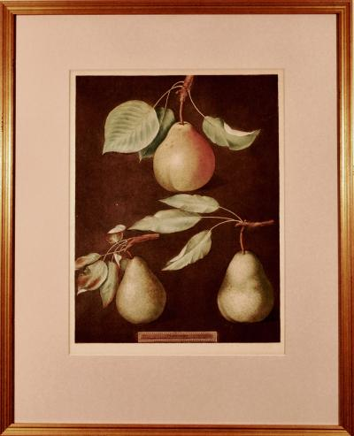George Brookshaw George Brookshaw Print of Pears from Pomoma Britannica Plate LXXXVI