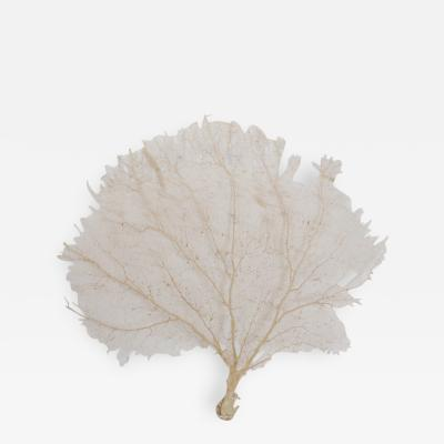 Giant Cream Sea Fan