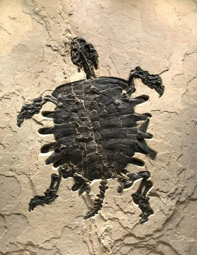 Giant Eocene Fossil Turtle