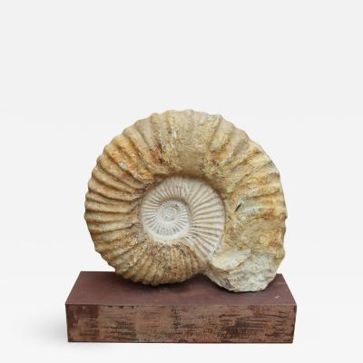 Great Ammonite Million Year Old Fossil on Iron Pedestal