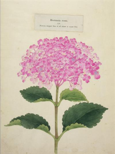 Hortensia rosea Japanese Hydrangea