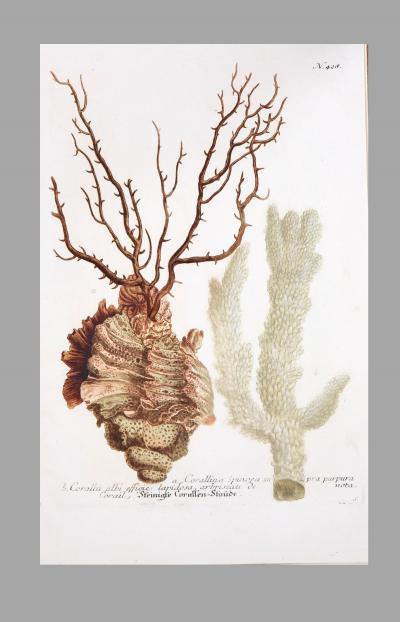 Johann Wilhelm Weinmann Johann Weinmann 18th century engravings of corals and seaweed
