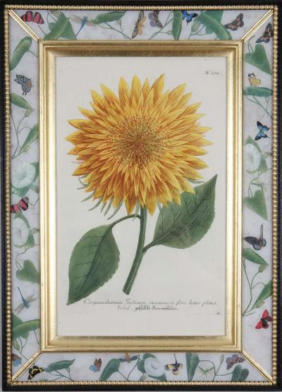 Johann Wilhelm Weinmann Johann Weinmann 18th century engravings of sunflowers