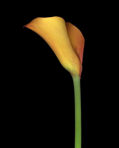 John D Woolf Orange Lily 2003 1 25