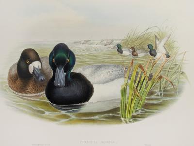 John Gould Fuligula Marila Scaup Duck