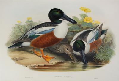 John Gould Spatula Clypeata Shoveller Duck