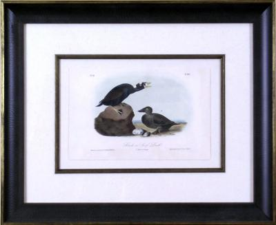 John James Audubon John James Audubon Black or Surf Duck 1856