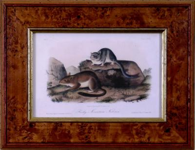 John James Audubon John James Audubon Rocky Mountain Neotoma Pack Rat 1854