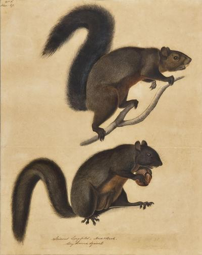 John James Audubon Long Haired Squirrel