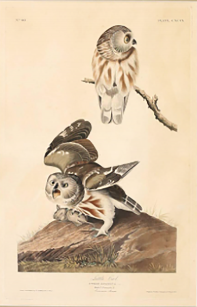 John James Audubon Monumental Framed Audubon Print of The Little Owl 1834 Havell Edition