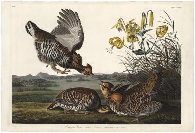 John James Audubon Pinnated Grouse Tetrao Cupido Plate 186