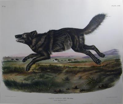 John James Audubon Pl 67 Black American Wolf