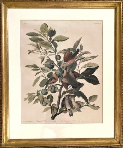 John James Audubon Pl CLXXXII Ground Dove Columba Passerina