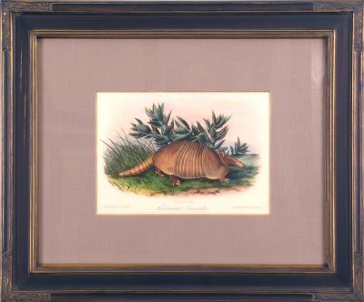 John James Audubon Plate CXLVI Nine Banded Armadillo