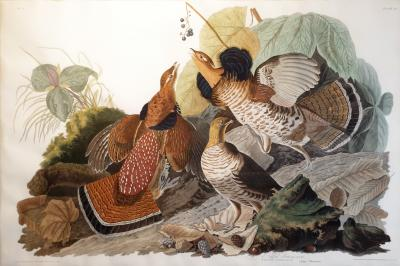 John James Audubon Ruffed Grouse PL XLI