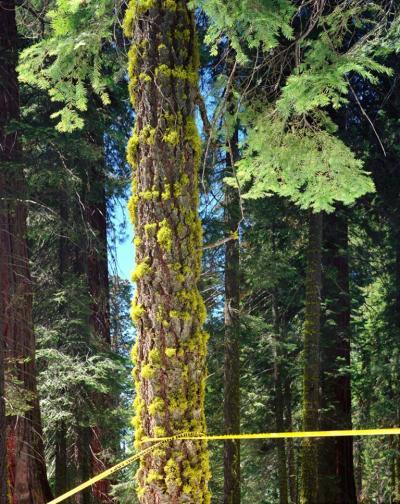 Karen Halverson Giant Sequoia 2002