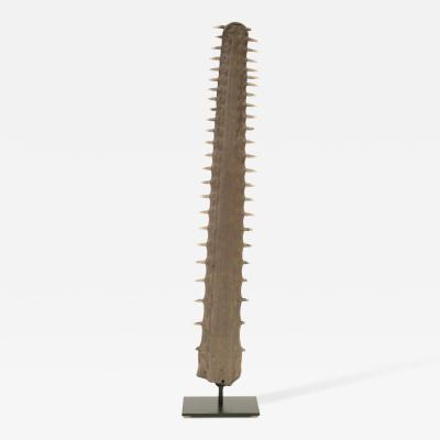 Large Sawfish Bill on Museum Mount