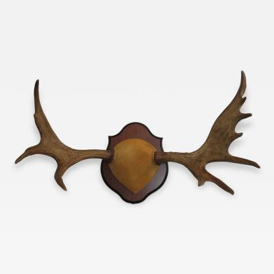 Large Trophy Quality Mounted Moose Antlers Nova Scotia