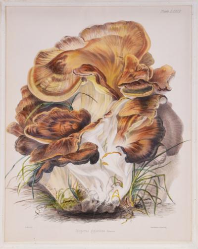MRS T homas J ohn Hussey Group of Six Illustrations of British Mycology Fungi and mushrooms