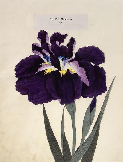 Mandarin Japanese Iris