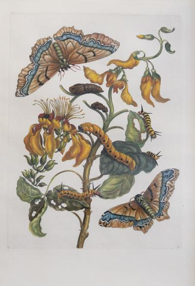 Maria Sibylla Merian MERIAN Maria Sibylla A Group of Six Flowers Insects and Fruits
