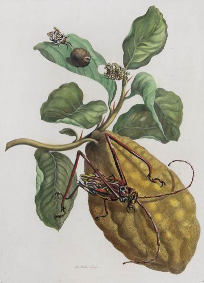 Maria Sibylla Merian Merian Maria Sibyl A Group of Six Flowers Insects and Fruits