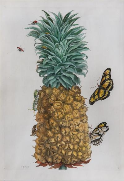 Maria Sibylla Merian Merian The Pineapple Fruit