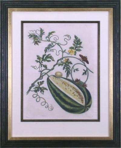Maria Sibylla Merian Plate 15 Watermelon on the Vine with Arcahia Moth
