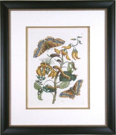 Maria Sibylla Merian Plate IX Palissade Butterfly