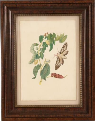Maria Sybilla Merian Set of 4 Maria Sibylla Merian Insect and Plant Watercolor Plate Prints