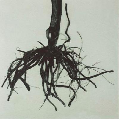 Marigold Root
