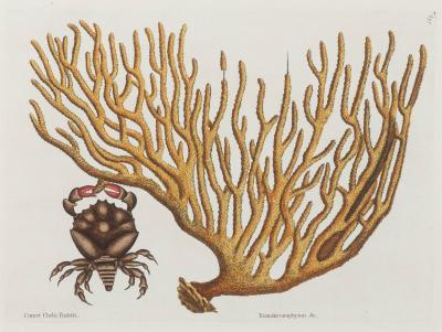 Mark Catesby Cancer Chelis Rubis Titanokeratophyton