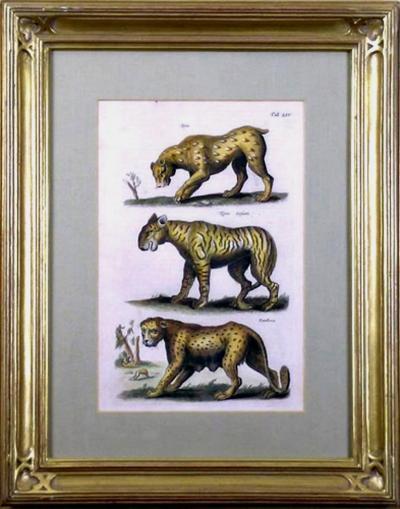 Matth us Merian the Elder Tab LIV Lynx Tigris Panthera