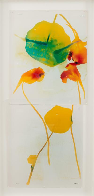 Millie Falcaro Nasturtium Diptych Photogram by Millie Falcaro