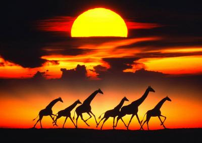 Mitchell Funk Giraffes at Sunset
