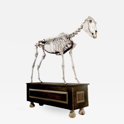 Museum Quality Real Full Skeletal Horse Display
