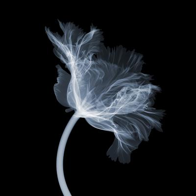Nick Veasey parrot tulip side