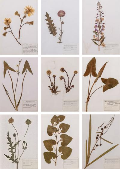 Original Mid 20th Century Herbaria