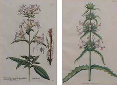 Pair of Hand Colored Botanical Engravings of Lilies