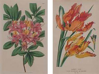 Pair of Hand Colored Floral Engravings