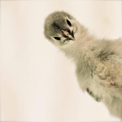 Patrice Casanova Isabella Rossellini s Heritage Chicken s by Photographer Patrice Casanova NY