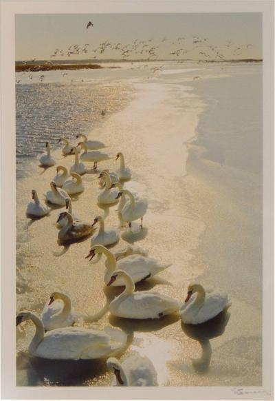 Patrice Casanova The Swans of Squassex by Photographer Patrice Casanova Long Island NY